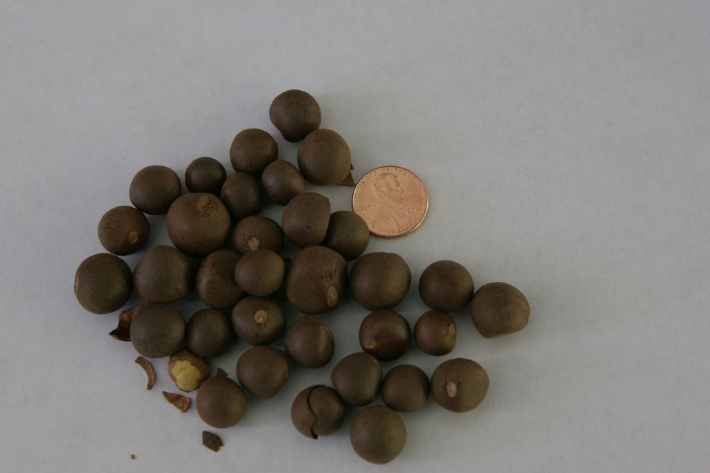Tea (Camellia sinensis var. sinensis) seeds from Shenzhen, China. There is nothing particular about Shenzhen other than that this ebay seller had the lowest price. If I can get any of these tea seeds to germinate, I will have to wait three years before I can start making my own tea.