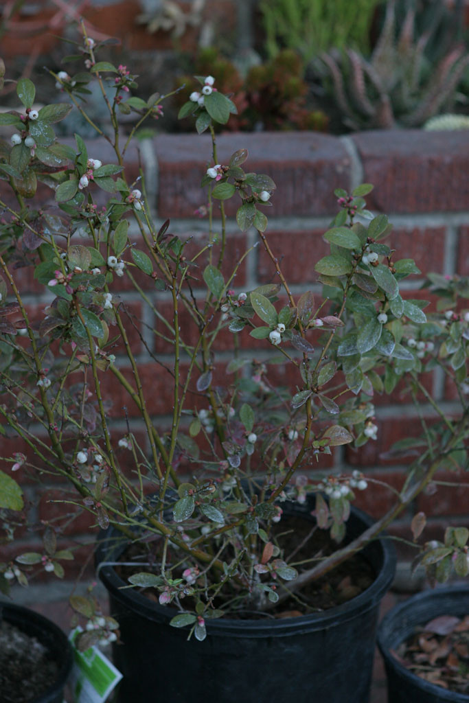 Blueberry (Vaccinium x 'Sunshine Blue') The leaves have green from a rust color.