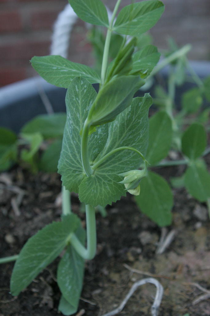 "Heirloom snow pea (Pisum sativum) called, ""Mammoth Melting Sugar Pea"""