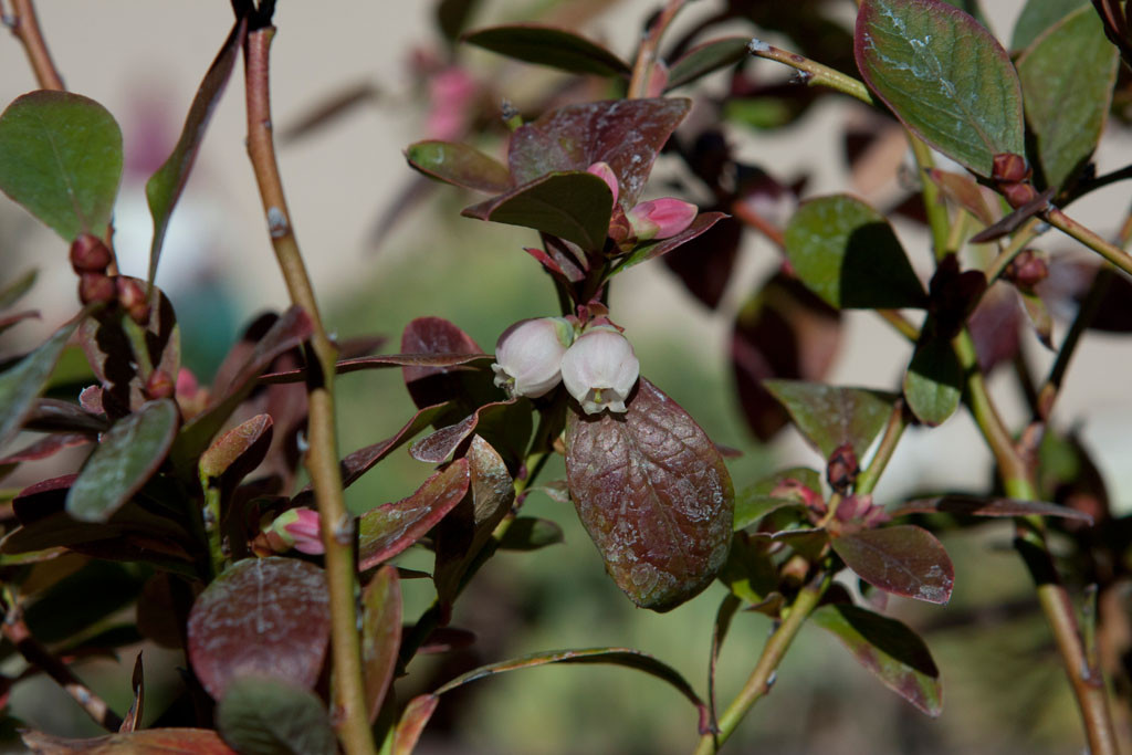 Blueberry blossom. Blooming early this year. 'Sunshine' blueberry