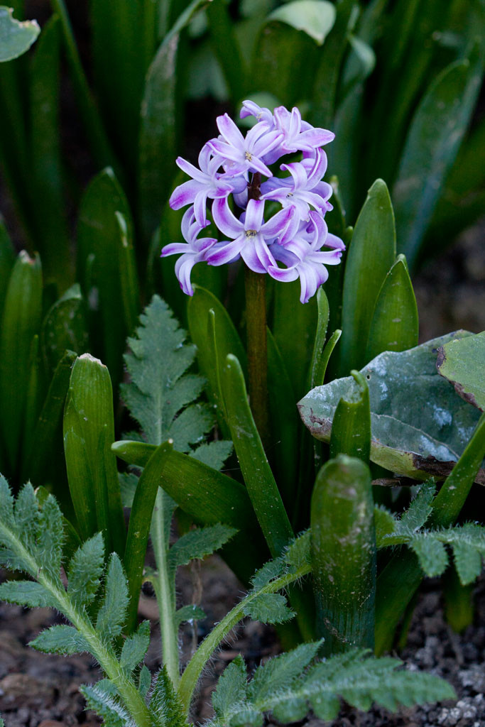 Fragrant hyacinth (Hyacinthus orientalis). The first of the spring flower bulbs to bloom.