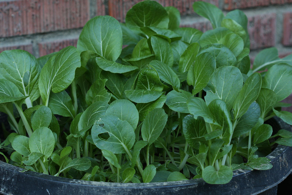 Bok choy (Brassica rapa Chinensis group) Ready for harvesting and thinning out.