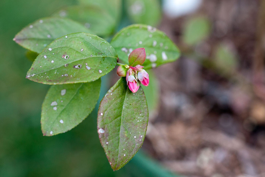 'Sharp blue' blueberry (Vaccinium corymbosum sp) blossom. A young plant I didnt expect to start setting fruit.