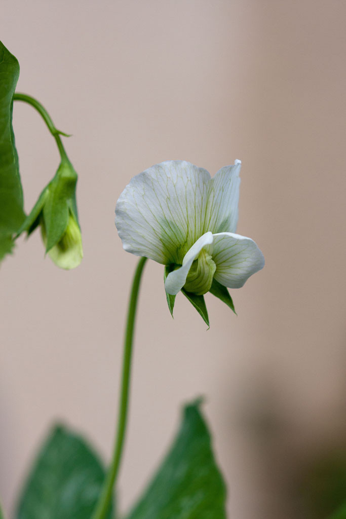 "Peas have really pretty flowers. Heirloom snow pea (Pisum sativum) called, ""Mammoth Melting Sugar Pea"""