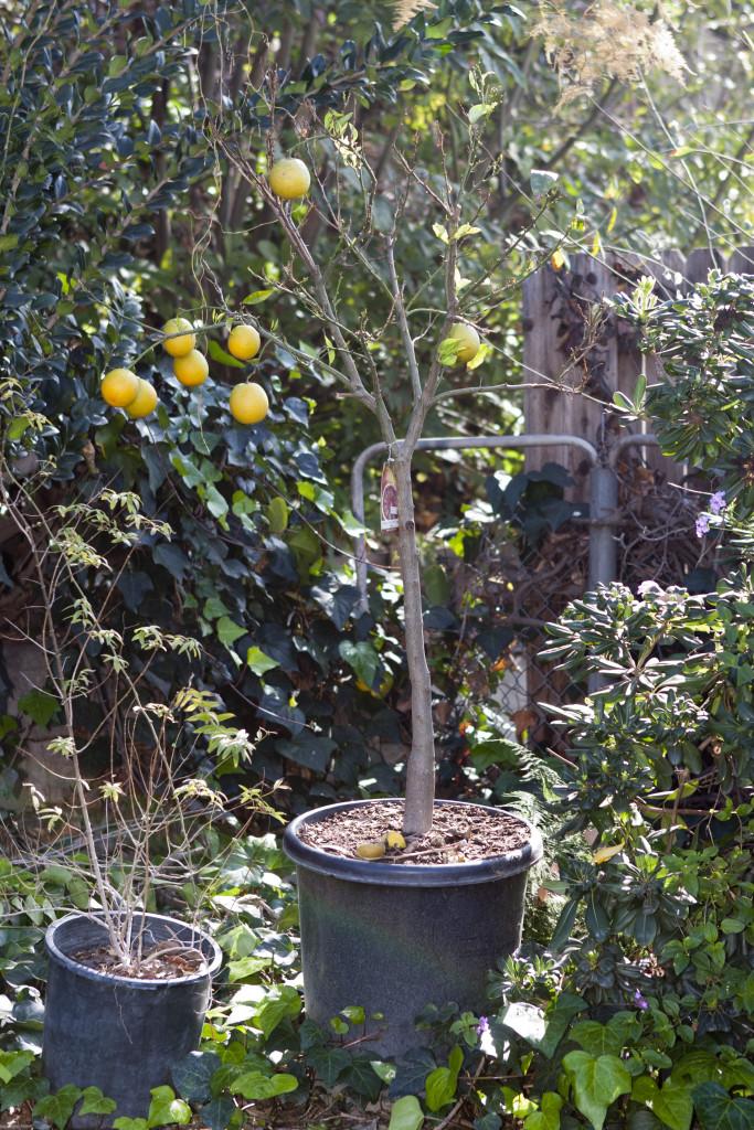Moro blood orange tree, 2015.