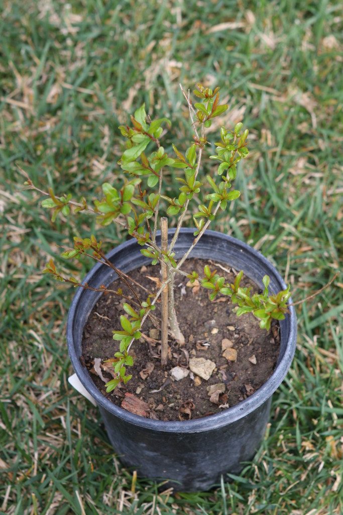 Young pomegranate tree
