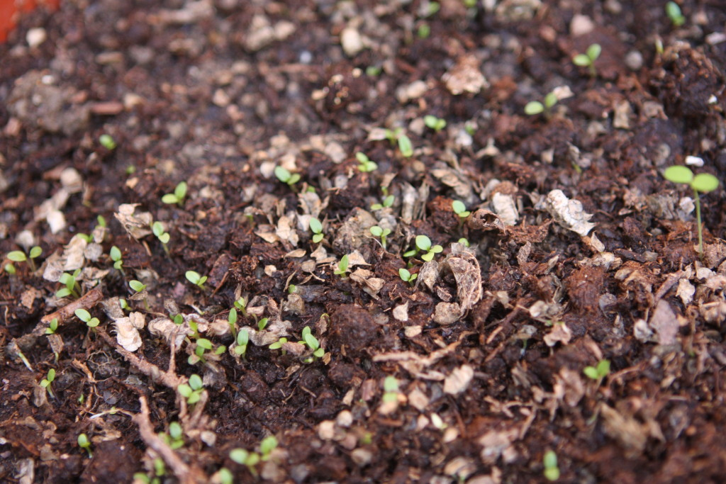 Ranunculus sprouts