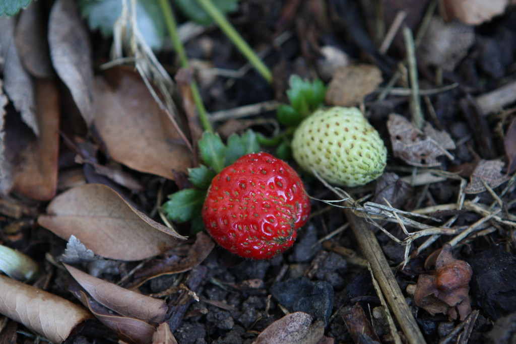 First ripe strawberry of 2015