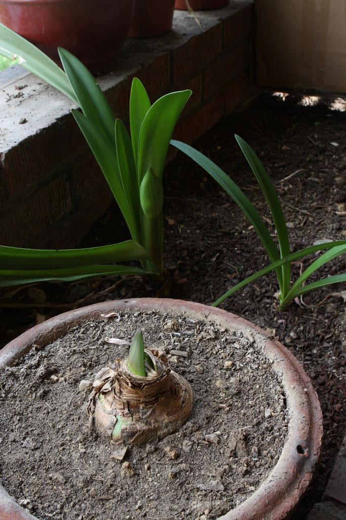 Amaryllis (Hippeastrum)
