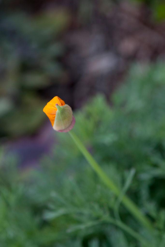 California Poppy(Eschscholzia californica)