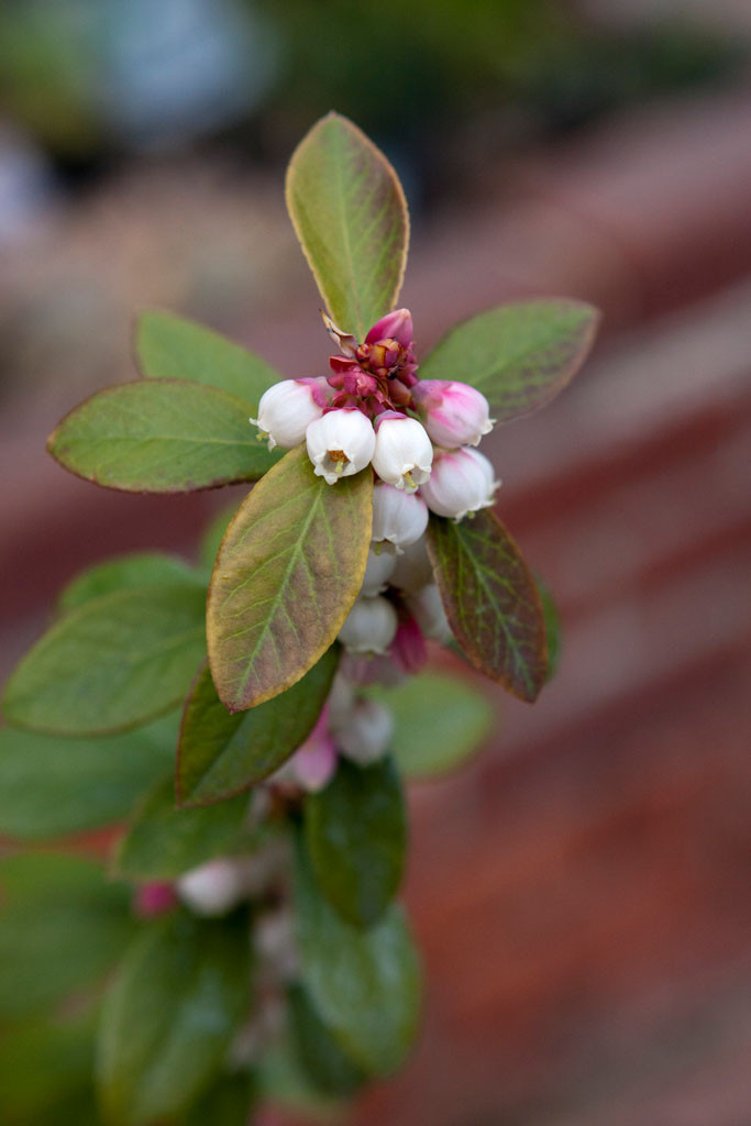 'Sunshine' blueberry blossoms on second year cane