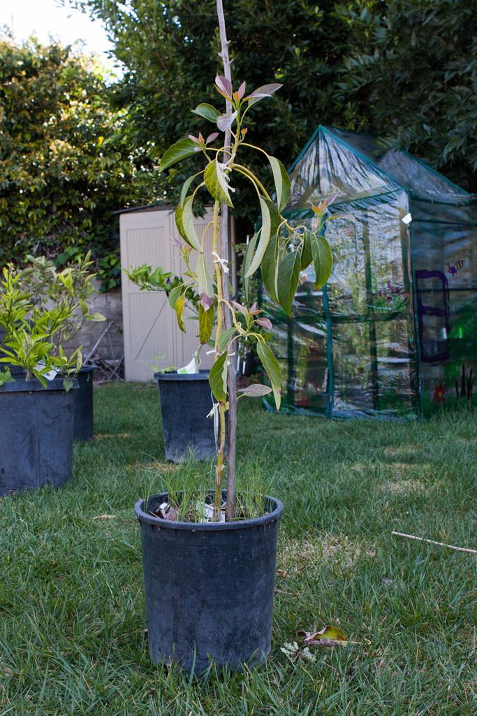 Gwen avocado(Persea americana)