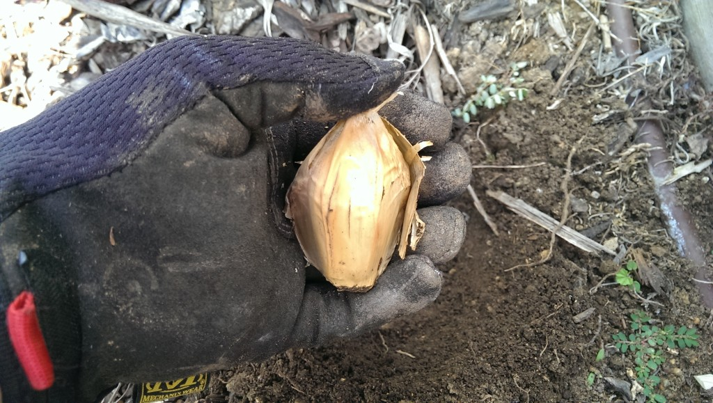 Large elephant garlic clove
