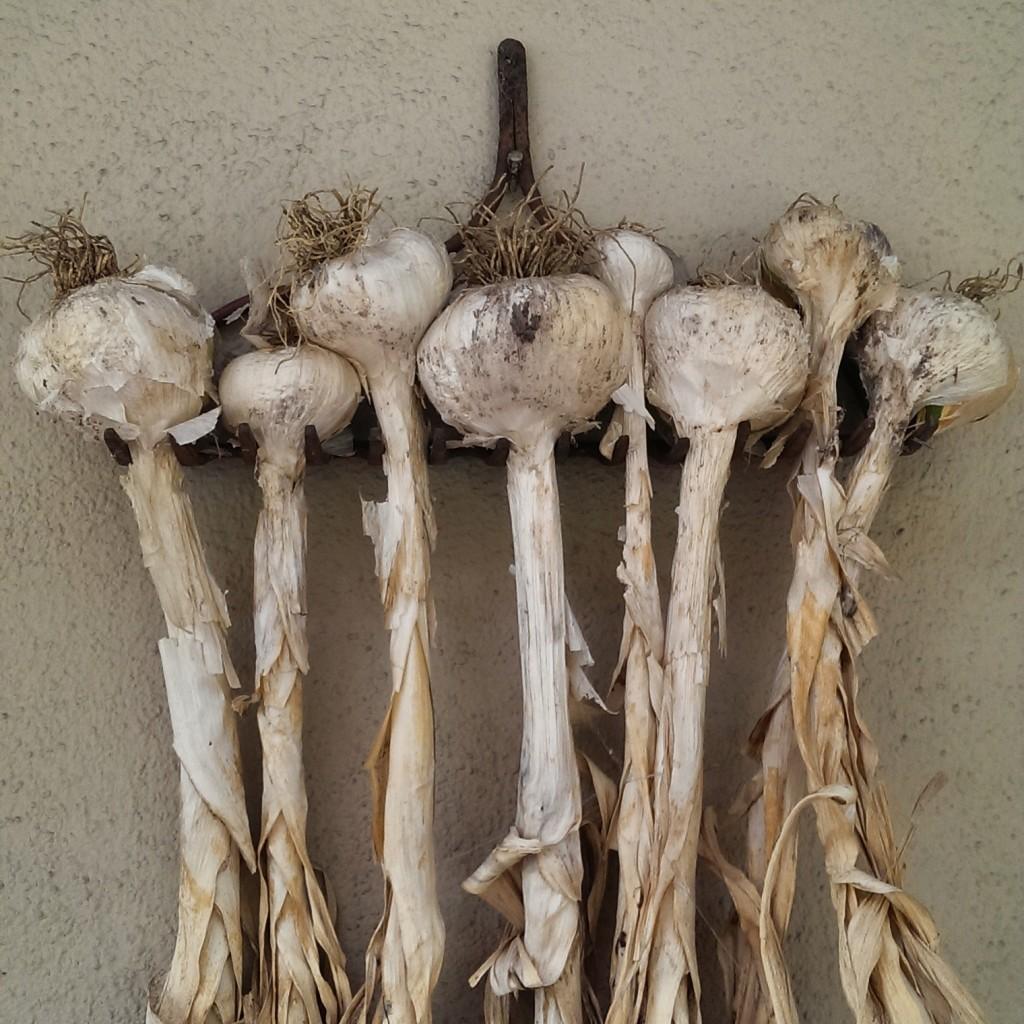 Elephant garlic on a bow rake