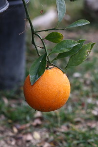 Robertson navel orange