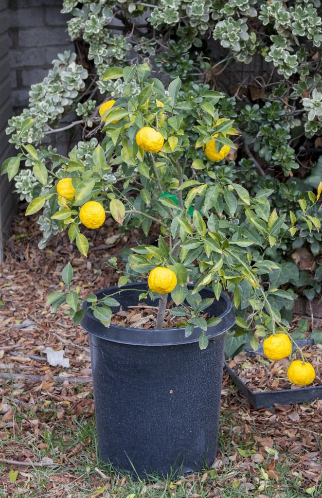 Dwarf yuzu citrus tree
