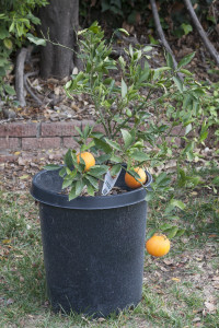 Dwarf Robertson navel orange tree