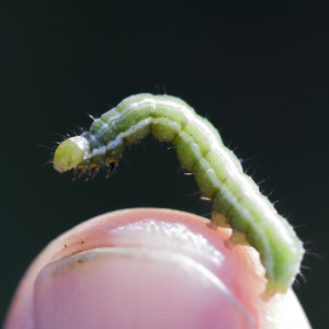 tiny moth worm on thumb